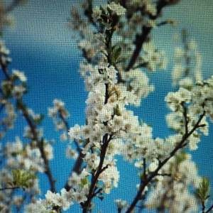 "What says ""Spring!"" to your senses more deliciously than fragrant plum blossoms?"