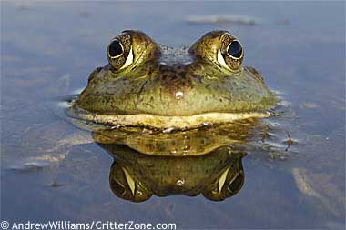 bullfrog-head
